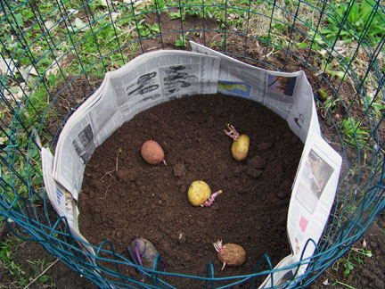 The Lazy Person's Potato Garden