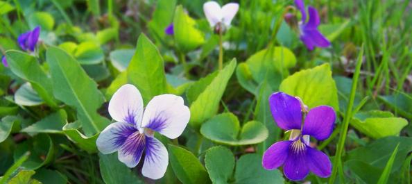 Foraging Spring Violets