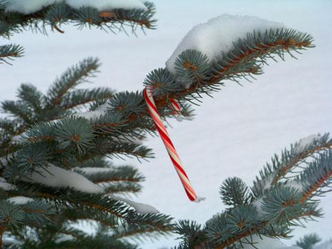 ss-pine-branch