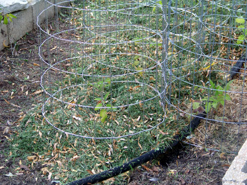 Homemade Tomato Cages in Garden