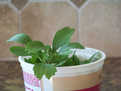 Growing Pachysandra from Cuttings