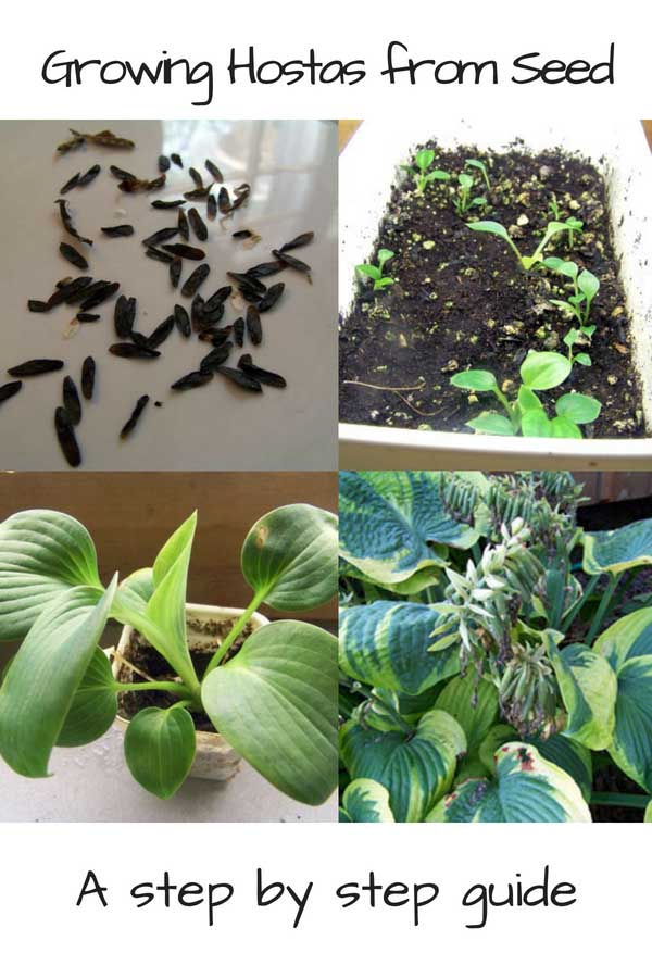 Have you ever spotted seeds on your hosta plants? Growing hostas from seed is harder than dividing them but a fun gardening challenge.