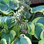 Hosta with seeds
