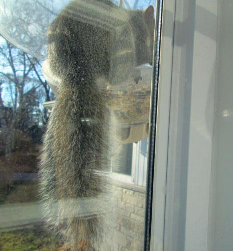 "Squirrel in ""squirrel proof"" feeder"