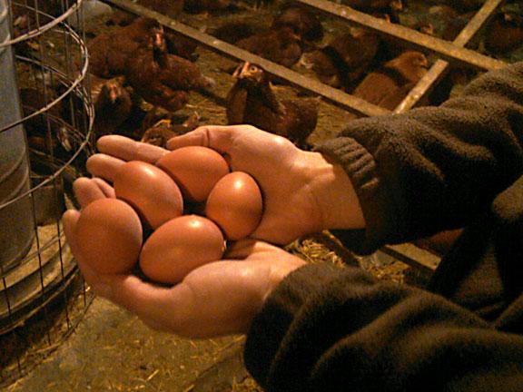 Farm Fresh Eggs at Rare Earth Farm
