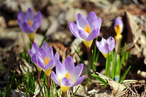 Purple Crocus - Art of Natural Living