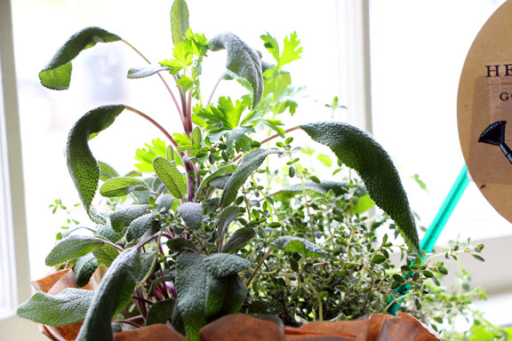 Sage in the front of a pot of popular herbs