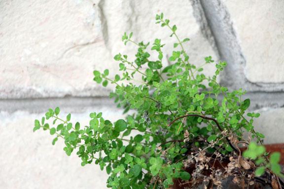marjoram plant in pot