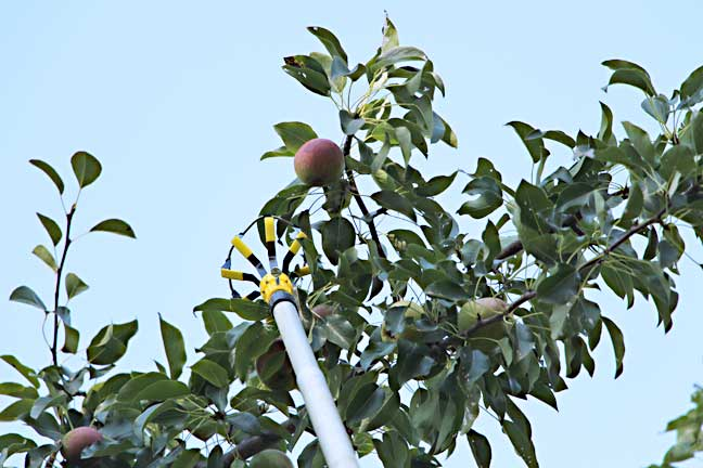 pear-picking-1