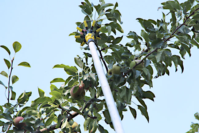 pear-picking-2