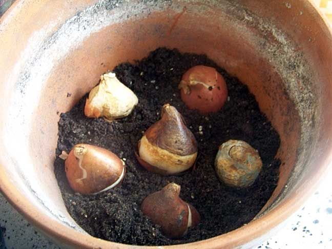 Tulip bulbs in bottom layer of pot