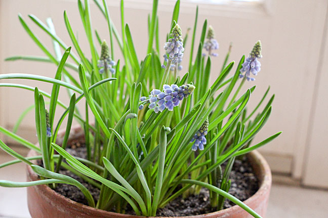 forcing-bulbs-g-hyacinth-fu