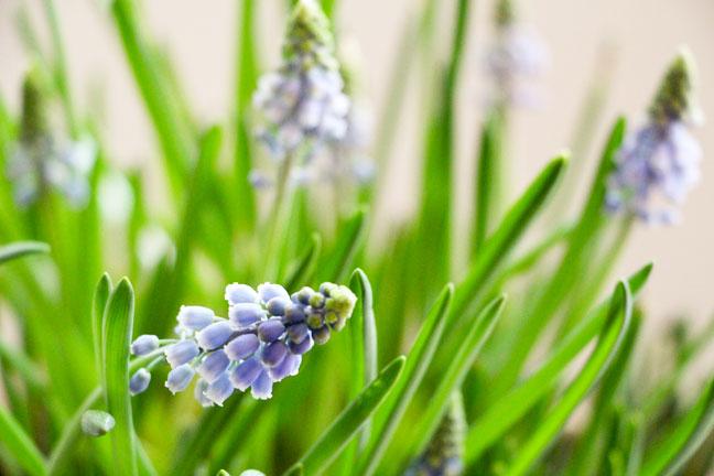 forcing-bulbs-grape-hyacint