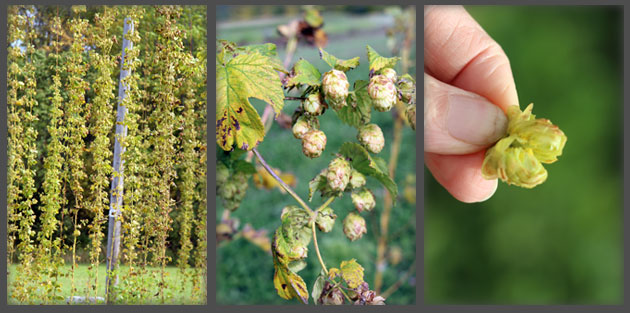 Fondy-Hops-Production
