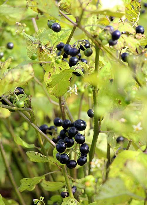 Fondy-eggplant-berries