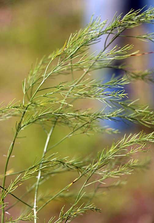 fondy-asparagus