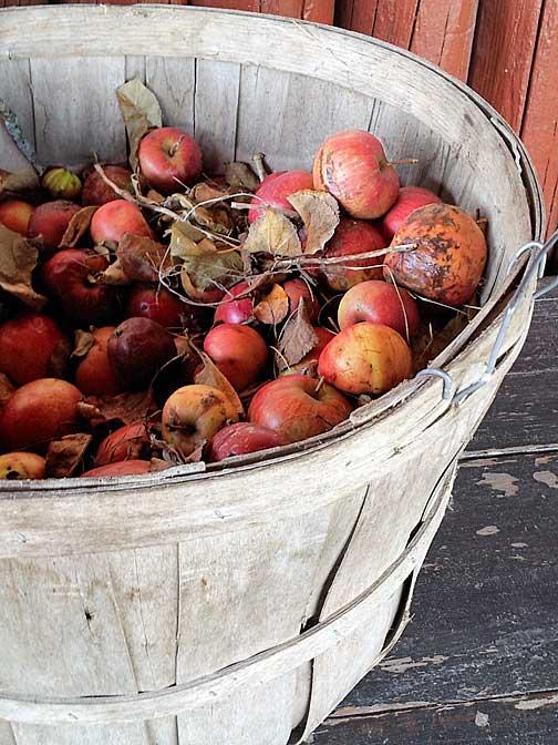 horse-apples