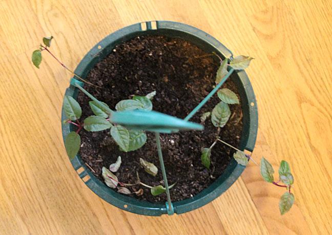 How to propagate fuchsias