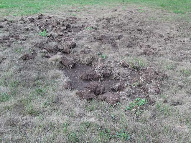 Lions Tigers & Grubs, Oh My: Treating Lawn Grubs Naturally