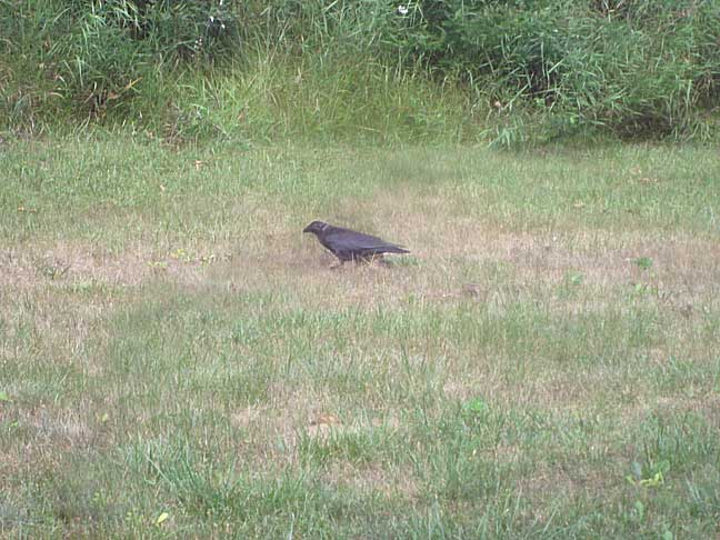 Marauding Crow in Less Damaged Area