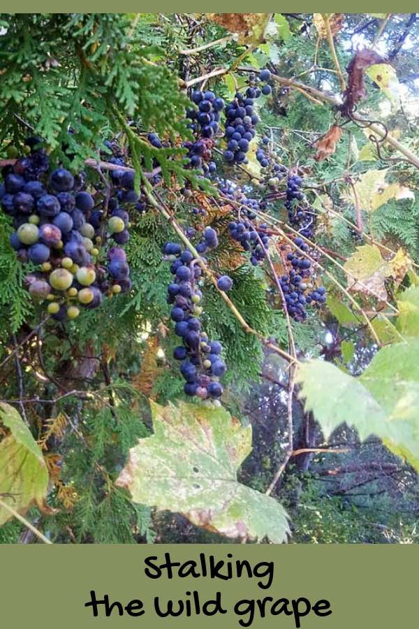Join me on a fun adventure foraging for wild grapes, then turning them into grape juice.  Free all-natural food--how good is that!