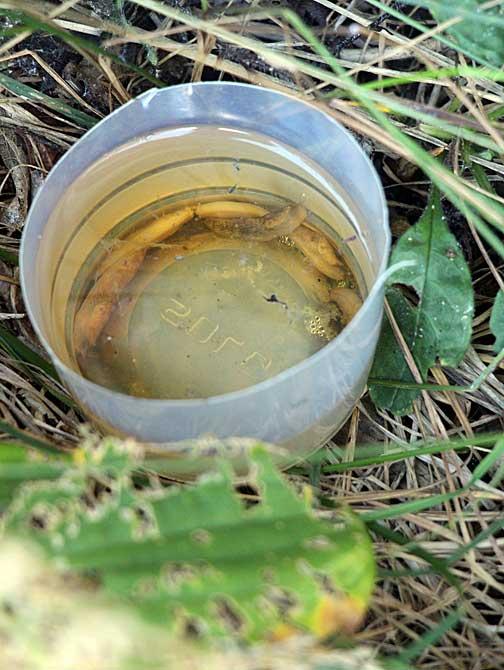 Yes, beer does work as slug bait