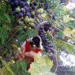 Stalking the Wild Grape