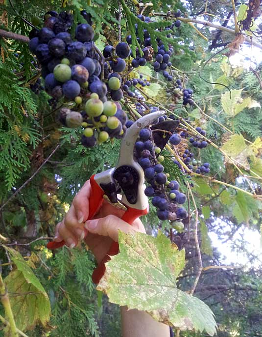 A pruner can help in harvesting wild grapes