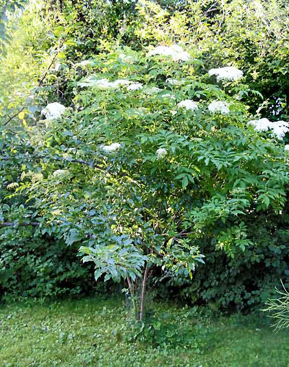 Elderflower bush/Elderberry bush