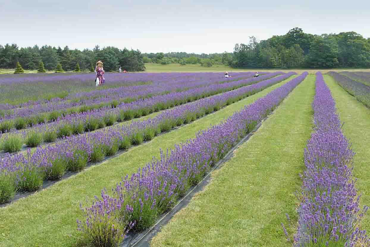 Washington Island Lavender Fields