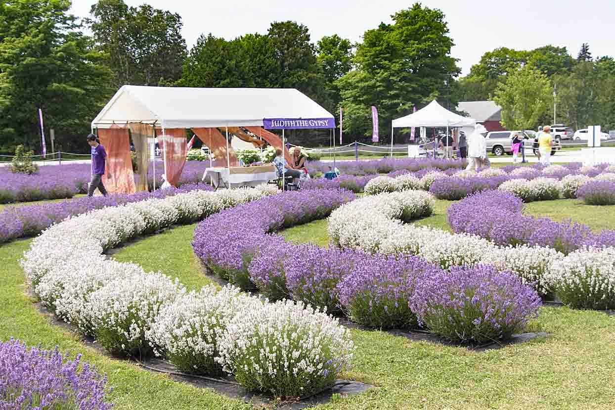 Fragrant Isle Lavender Festival