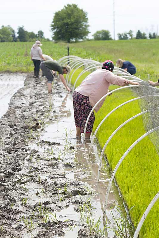 Rice Hoops