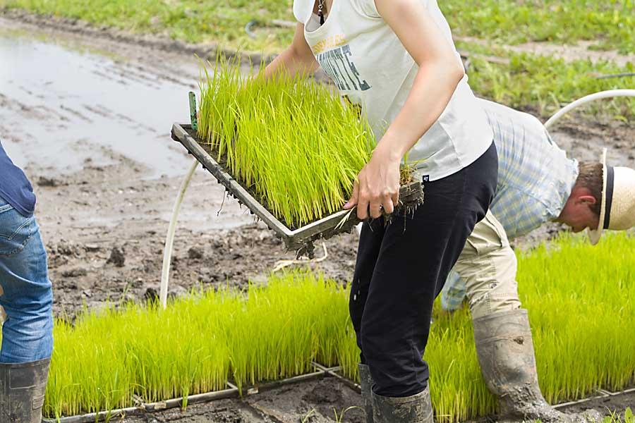 Move rice seedlings