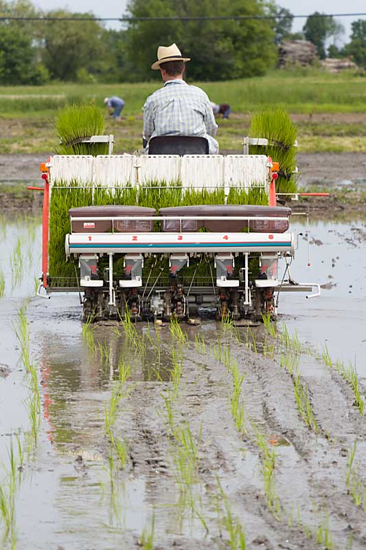 rice planter in operation