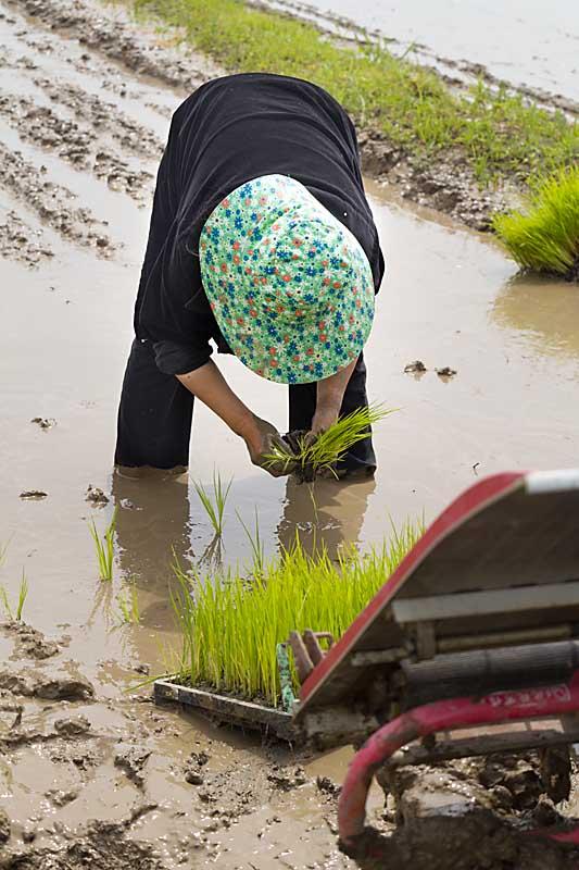 Hand planting rice