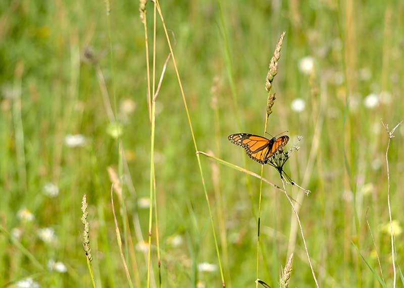 field with monarch butterfly