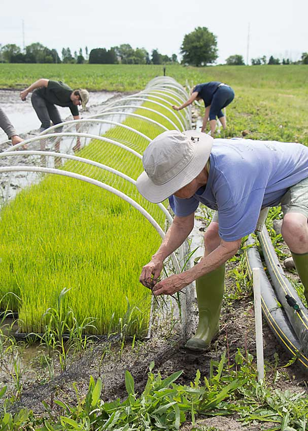 Planting Rice - Mequon, WI