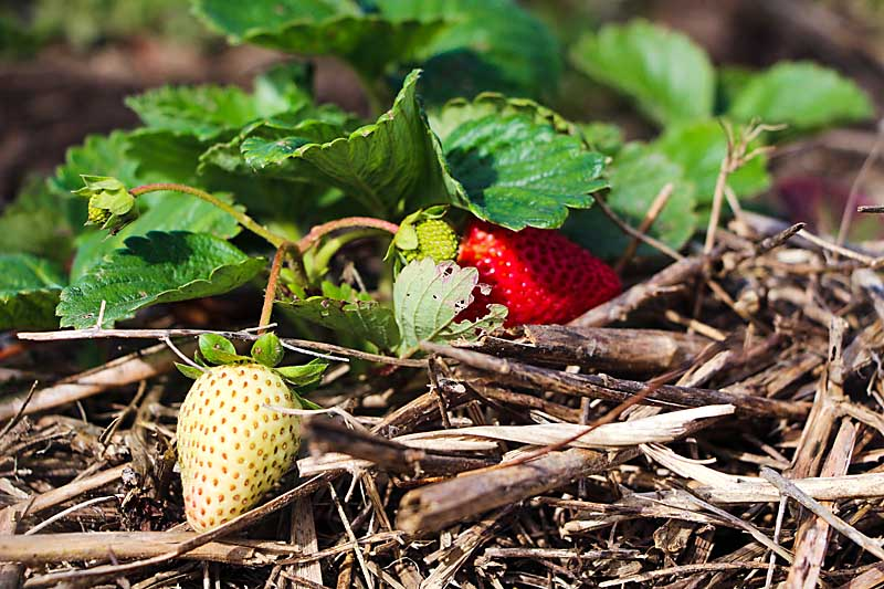 Abundant strawberry season is here.  Take advantage of the bounty and preserve for winter with this step by step guide on how to freeze strawberries!