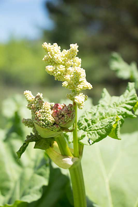 rhubarb growing tips--cut off flower stalk at base