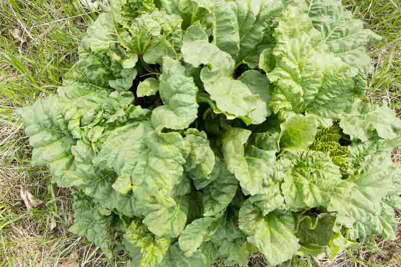 Rhubarb fun and easy to grow with a few rhubarb growing tips.