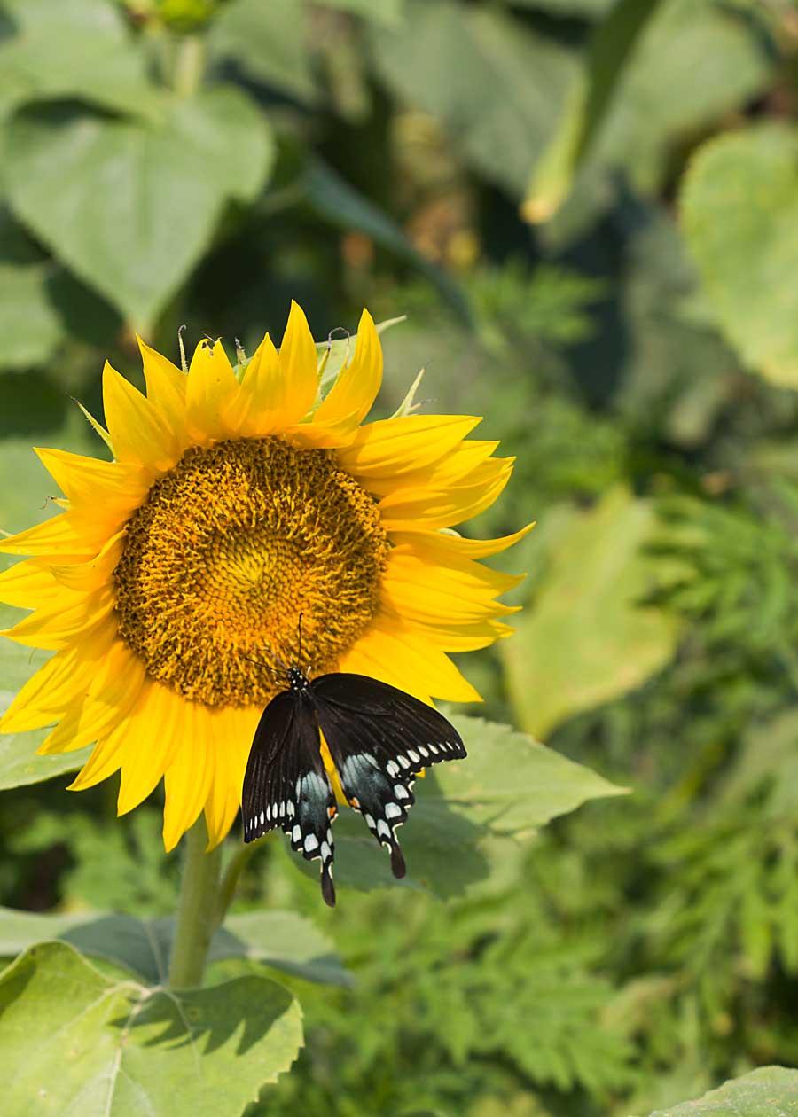 Black Swallowtail Butterfly on Sunflower