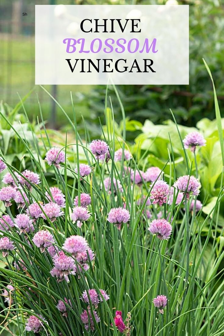 Chive Blossom Vinegar is a fun DIY project that is super easy and produces a tasty vinegar for your salads and other dishes.