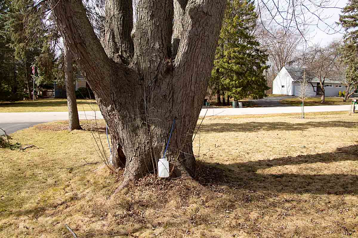 Backyard Maple Syrup is fun to make and tasty to eat. Plus you only need a couple trees and different varieties work. Step by step guide.
